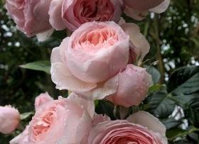 Ilusate rooside kasvatamine